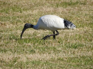5-17-06-ibis-candlagan-creek-2