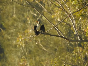 5-17-06-pied-cormorant-candlagan-creek