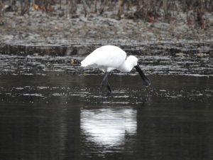 5-17-06-spoonbill-at-candlagan-creek-2
