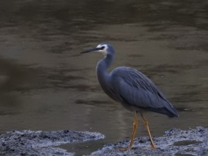 5-17-06-white-faced-heron-candlagan-creek