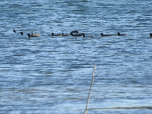 6-17-04-coots-lake-tarouga