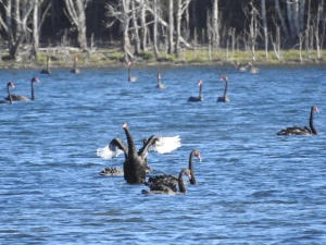 6-17-04-swans-lake-tarouga