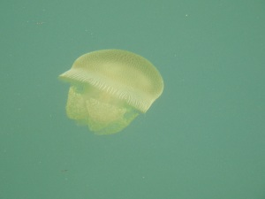 6-17-06-jelly-fish-north-of-batemans-bay-bridge-2