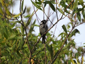 7-17-04-new-holland-honeyeater-jemison-point