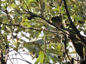 7-17-04-silvereye-jemison-point-2