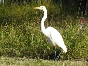 8-17-06-great-egret-tomakin-3