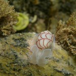 Red-lined Bubble shell